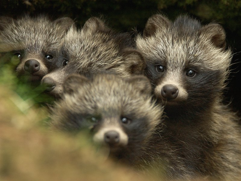 Raccoon Dog Pups Baby Raccoon Dog